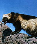 220px-Wolverine_on_rock