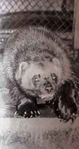Truckee's Mascot the Wolverine has roamed the Sierras for many years but is now an endangered species